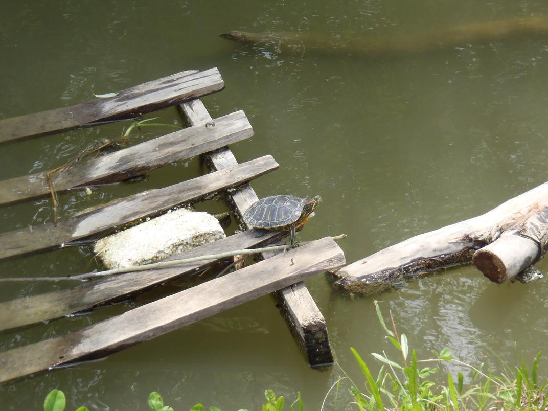 Kornjača hvata boju na jezeru Dubravica